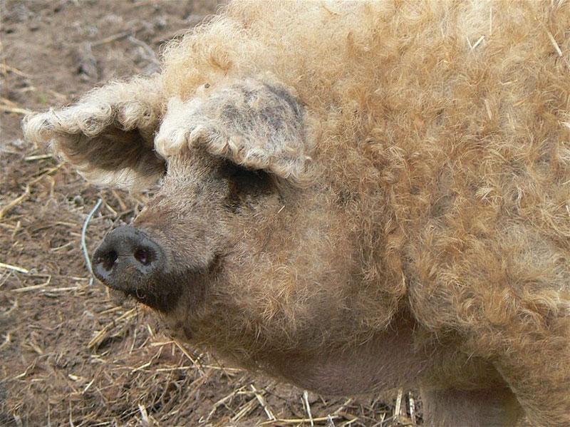 Картинки по запросу шерст свиня