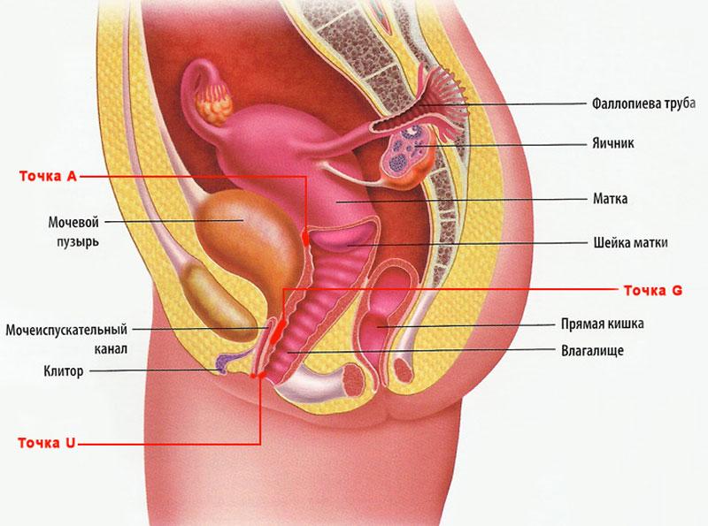 Фото женских и мужских половых органов